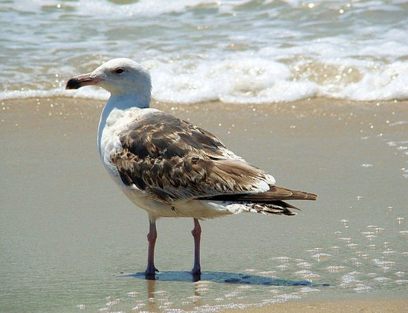 Bird Fowl Marine Gull Sea Wave Upsurge Beach Ocean