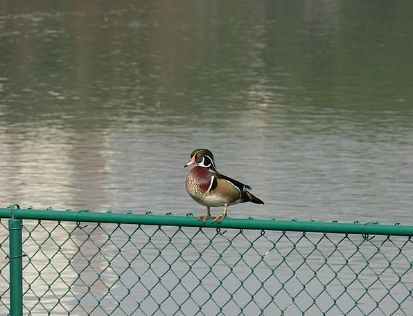 Wood Duck Florida Lake Morton Birdwatching Bird Fo