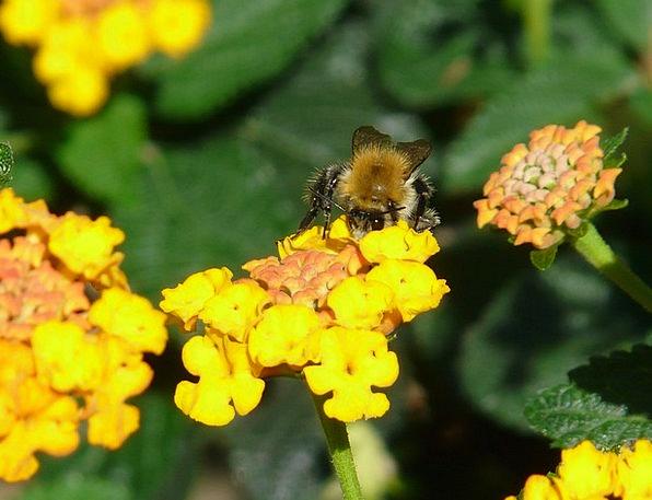 Lantana Pollination Fertilization Hummel Plant Ins