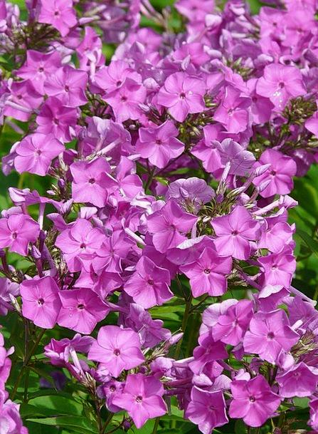 Flame Flower Landscapes Nature Flower Floret Phlox