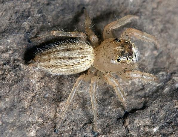 Spider Thiodina Puerpera Jumping Spider Arachnopho