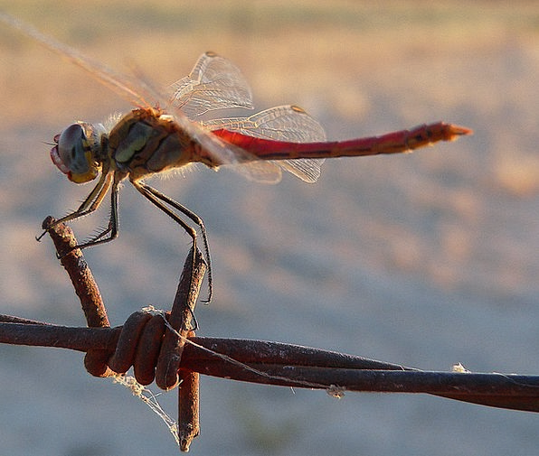 Dragonfly Bug Resting Latent Insect Barbed Wire Na