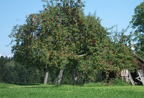 Apple Tree Landscapes Countryside Nature Romantic