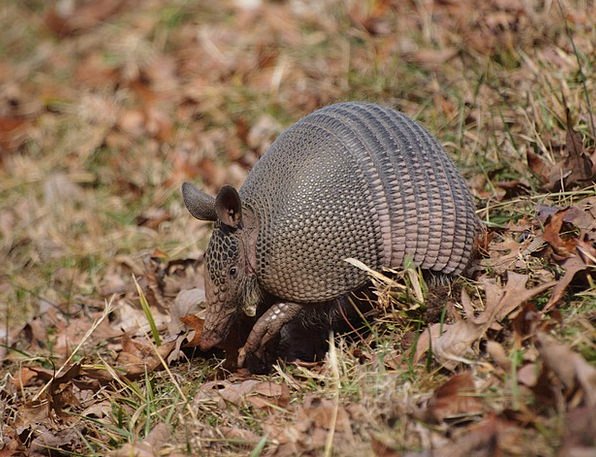 Armadillo Trace Suggestion Natchez Parkway Through