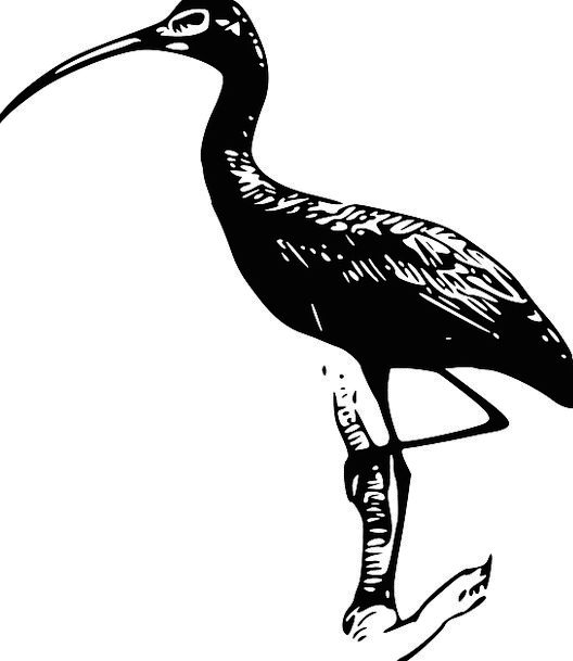 Ibis Bird Fowl Wading Bird Wood Ibis Wood Stork Fr