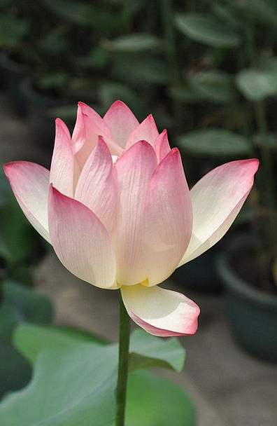Lotus Landscapes Nature Flower Floret Pink Lotus P