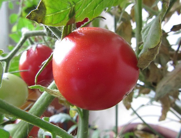 Tomato Medical Horticultural Health Organic Carbon