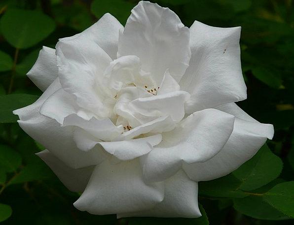 White Rose Design Rose Bloom Rose Fragrance White