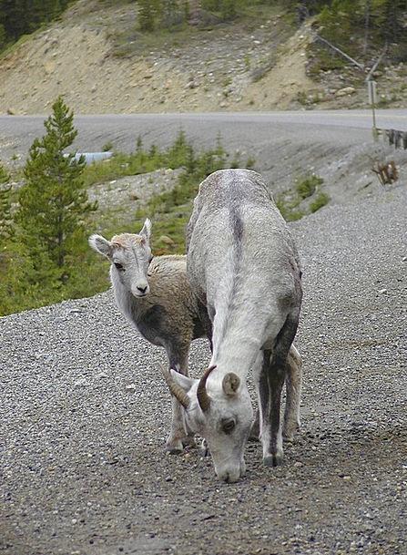 Mountain Sheep Landscapes Ewe Nature Animals Fauna