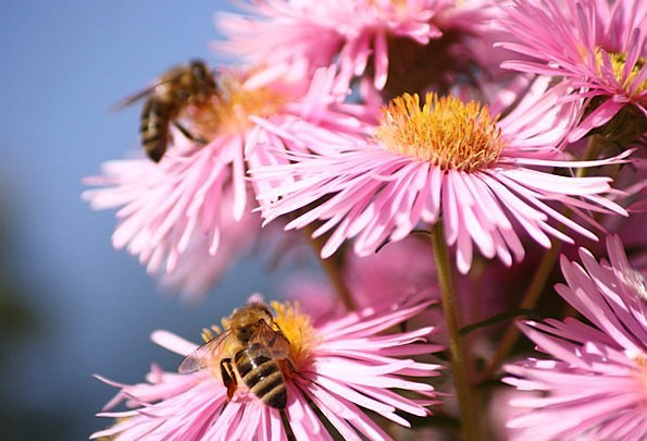 Honey Bees Insect Bug Bees Flower Floret Pollinati