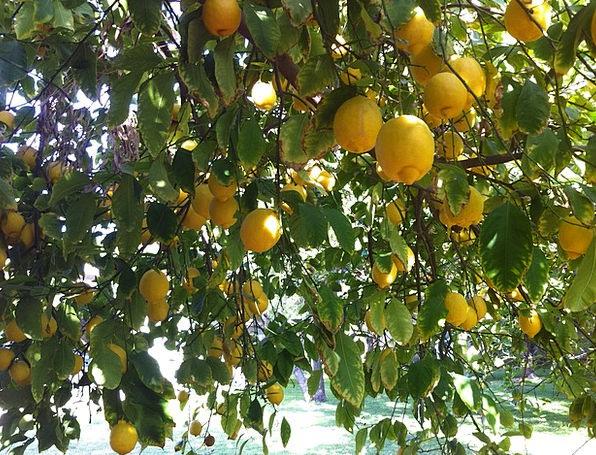 Citrus Duds Organic Carbon-based Lemons Refreshmen