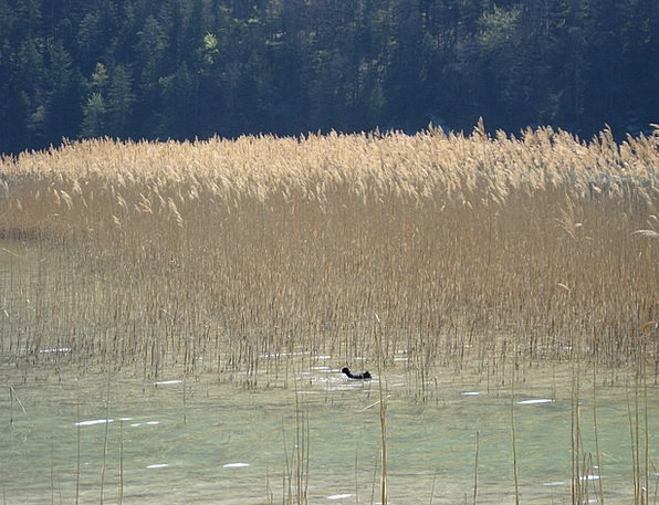 Duck Stoop Landscapes Cane Nature Wild Bird Reed N