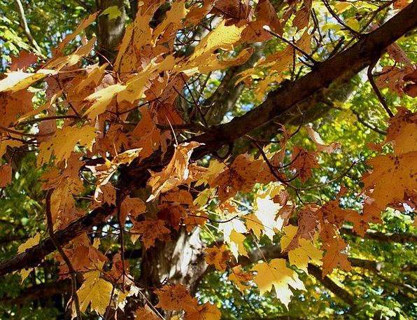 Maple Landscapes Sapling Nature Fall Reduction Tre