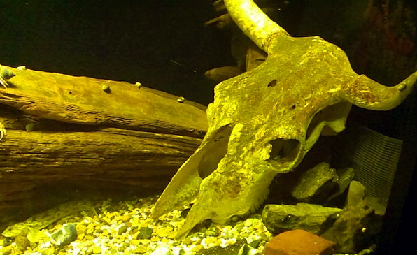 Skull Mind Aquatic Aquarium Water Wood Timber Unde