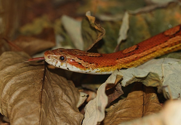 Corn Snake Language Snake Serpent Tongue Constrict