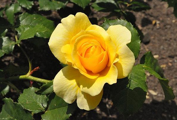 Rose Design Landscapes Vegetable Nature Flower Flo