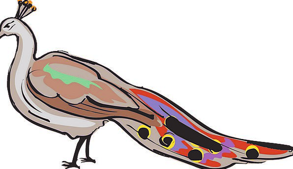 Peacock Showoff Bird Fowl Peafowl Plumage Down Sho