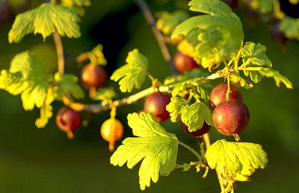 Gooseberry Drink Bloodshot Food Food Nourishment R