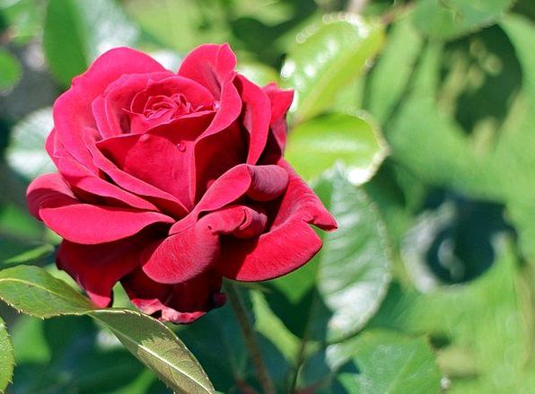 Red Rose Design Flower Floret Rose Rose Bloom Natu