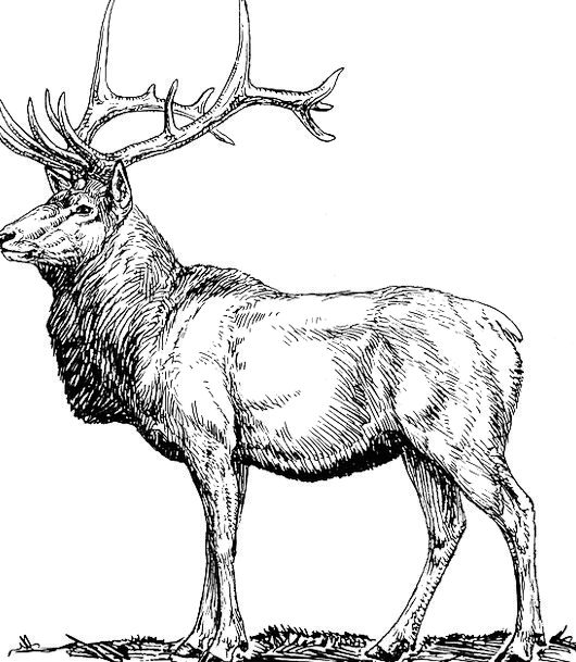 Elk Deer Moose Horned Head Skull Mammal Animal Hun