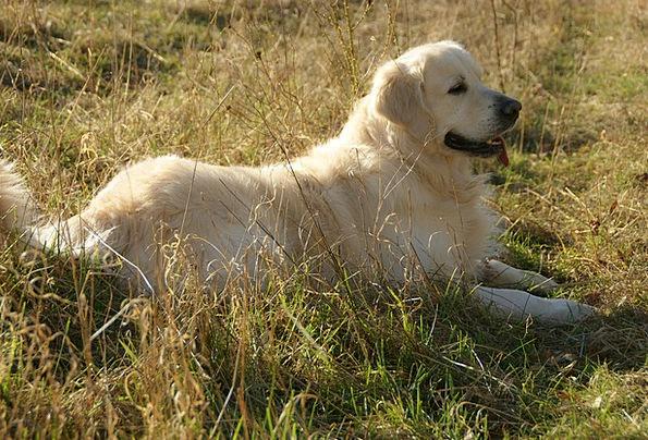 Retriever Pet Domesticated Golden Retriever Animal