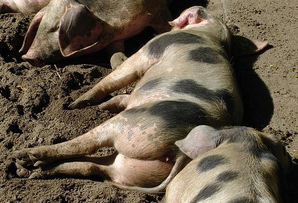 Bunte Bentheimer Pigs Spread Pigs Cattle Sow Sleep