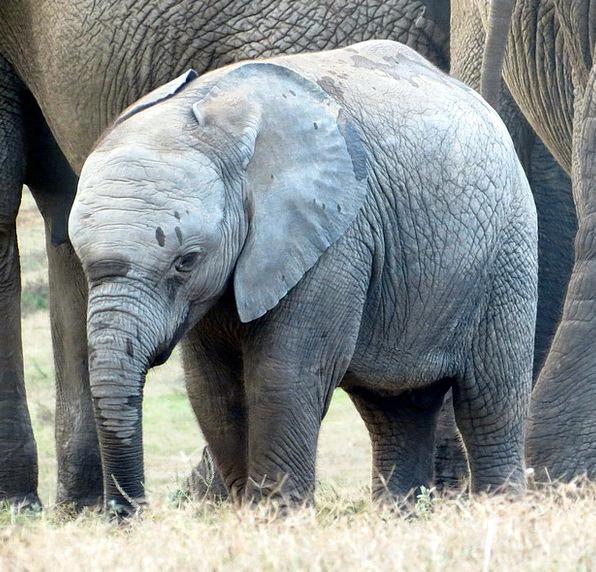 Elephant Monster Calf Elephant Baby Wildlife Natur