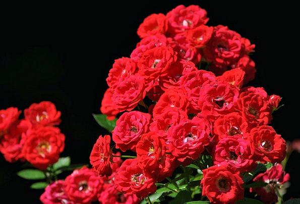 Roses Designs Landscapes Bloodshot Nature Flowers