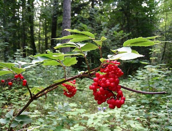Berry Landscapes Bloodshot Nature Forest Woodland