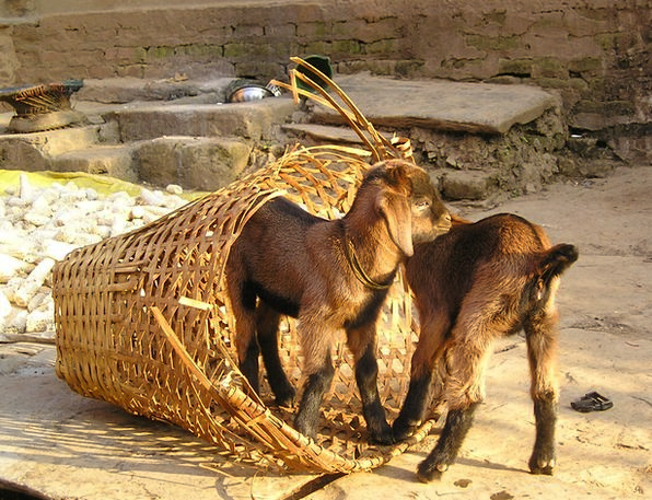 Nepal Small Minor Goats Young New Cute Brown Attra