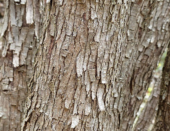 Tree Sapling Bay Dry Thirsty Bark Flake Shaving
