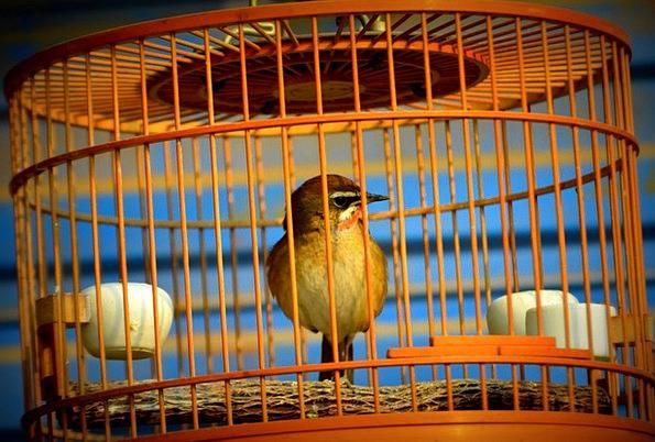 Animals Faunae Fowl Cage Birdcage Bird Pet Domesti