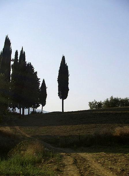 Cypress Italy Tuscany
