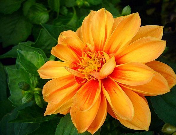 Dahlia Landscapes Flowery Nature Plant Vegetable F