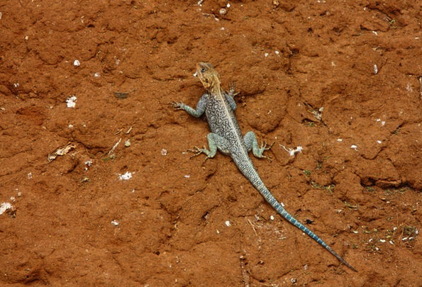 Lizard Masculine Animal Physical Male Wild Rough C
