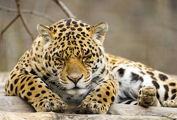 Panther Animal Physical Leopard Wildlife Nature Wi