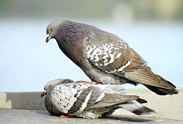 Pigeons Marks Natures Stand Attitude Birds Teamwor