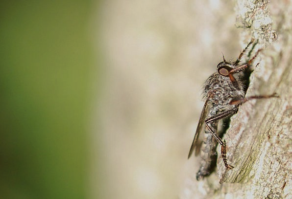 Fly Hover Bug Parasite Insect Pest Bother Dirty Fa