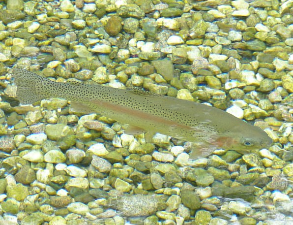 Rainbow Trout Angle Trout Fish Bach Water Aquatic