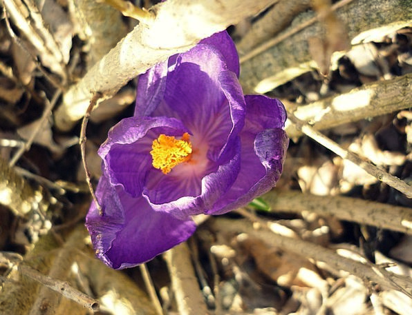 Flower Floret Elaborate Jakr Purple Rays Bush Scru