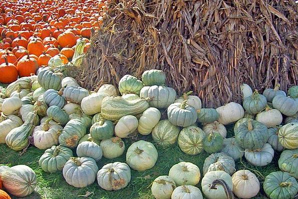 Gourds Corn Goo Pumpkins Stalks Stubbles Fall Autu
