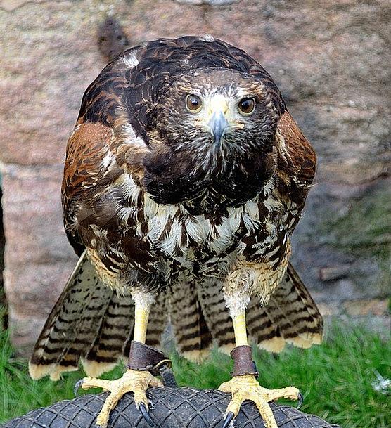 Hawk Warmonger Bird Fowl Raptor Animal Physical Br