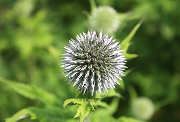Thistle Touchy Spiny Barbed Prickly Spur Branch