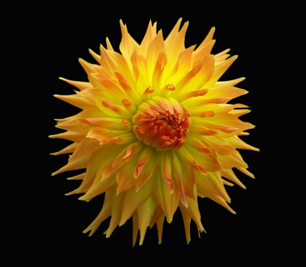 Dahlia Floret Orange Carroty Flower Floral Yellow