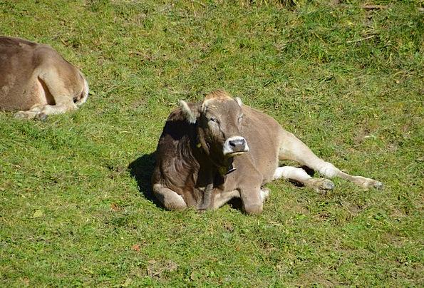 Cow Intimidate Complaint Sun Beef Pasture Meadow