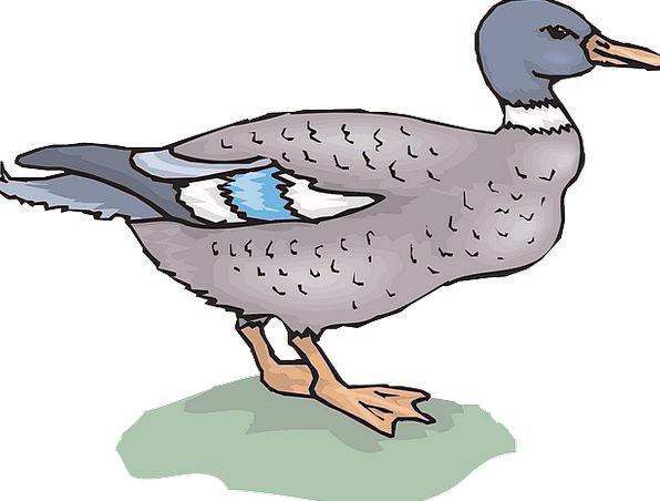 Bird Fowl Stoop Grass Lawn Duck Wings Annexes Stan