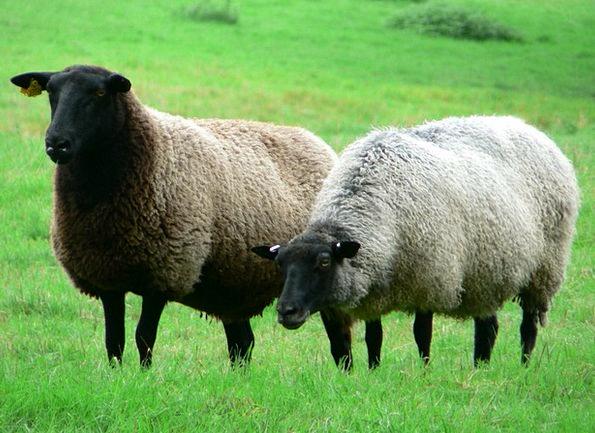 Sheep Ewe Herd Alm Flock Pasture Meadow Grass Fiel