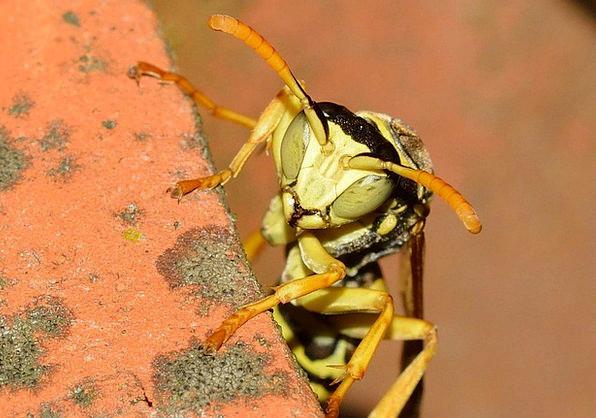 Insects Bugs Wasp Hymenoptera Polistes