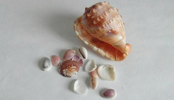 Sea Shells Bullets Sea Life Shells Conch Mother-Of