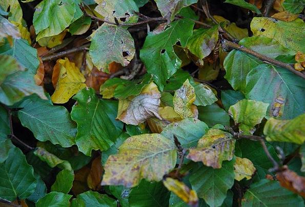 Beech Landscapes Greeneries Nature Plant Vegetable